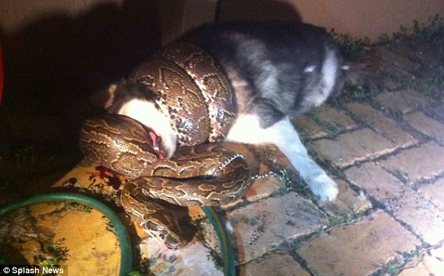 dog-python attack