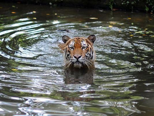 A Malayan Tiger takes a dip at the National Zoo in Kuala Lumpur on May 23, 2010.